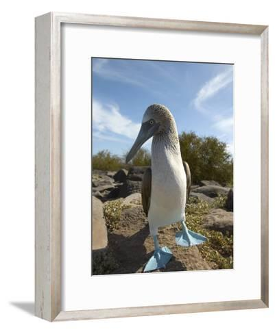 A Blue-Footed Booby of the Galapagos Islands-Ralph Lee Hopkins-Framed Art Print