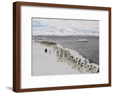 Chin Strap Penguins March Along the Icy Coast of Antarctica-Ralph Lee Hopkins-Framed Art Print