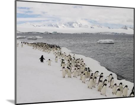 Chin Strap Penguins March Along the Icy Coast of Antarctica-Ralph Lee Hopkins-Mounted Photographic Print