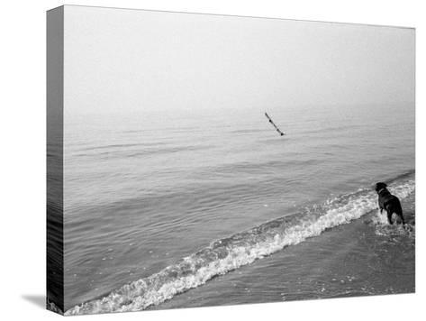 Dog Fetches a Stick at the Shore-Stephen Alvarez-Stretched Canvas Print