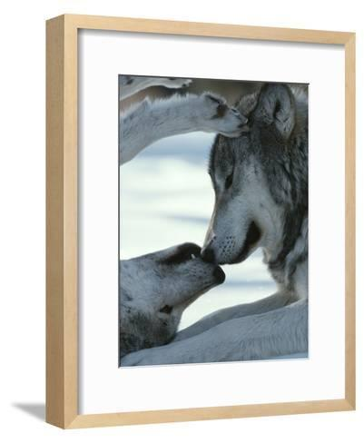 Two Gray Wolves Touch Noses during a Tender Moment-Jim And Jamie Dutcher-Framed Art Print