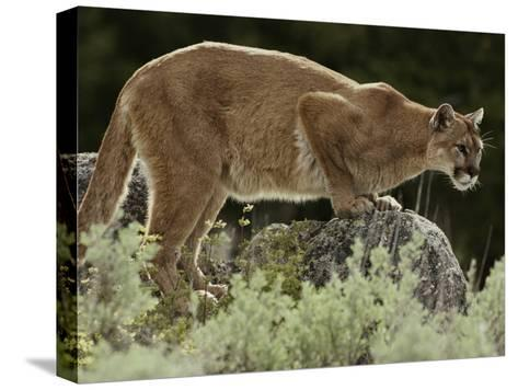 Mountain Lion Watches its Territory from a Rock-Jim And Jamie Dutcher-Stretched Canvas Print