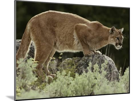 Mountain Lion Watches its Territory from a Rock-Jim And Jamie Dutcher-Mounted Photographic Print