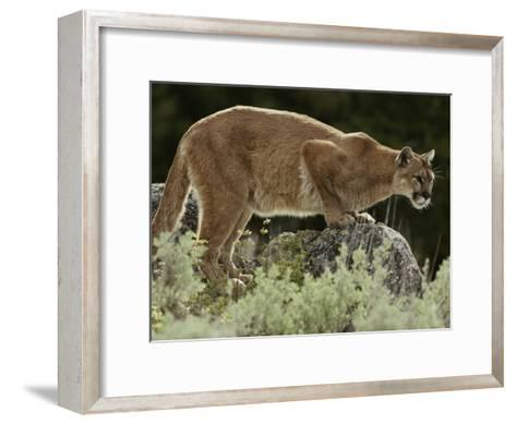 Mountain Lion Watches its Territory from a Rock-Jim And Jamie Dutcher-Framed Art Print