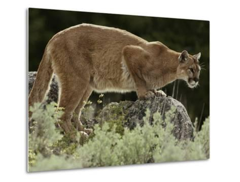 Mountain Lion Watches its Territory from a Rock-Jim And Jamie Dutcher-Metal Print