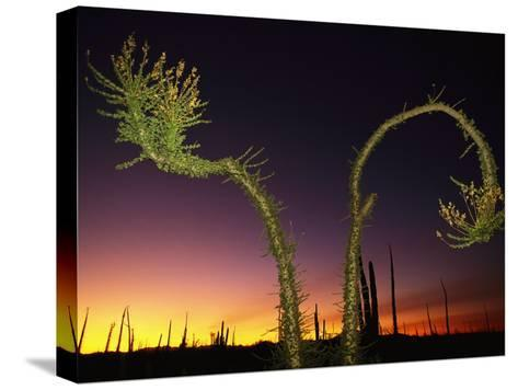 View at Twilight of a Boojum Tree in Baja-Bill Hatcher-Stretched Canvas Print