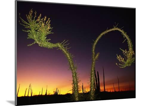 View at Twilight of a Boojum Tree in Baja-Bill Hatcher-Mounted Photographic Print