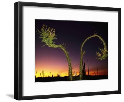 View at Twilight of a Boojum Tree in Baja-Bill Hatcher-Framed Art Print