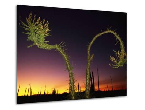 View at Twilight of a Boojum Tree in Baja-Bill Hatcher-Metal Print