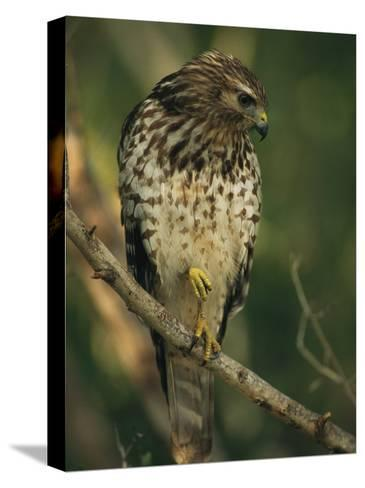 Red-Shouldered Hawk Perches on a Tree Branch-Klaus Nigge-Stretched Canvas Print