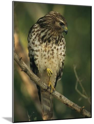 Red-Shouldered Hawk Perches on a Tree Branch-Klaus Nigge-Mounted Photographic Print