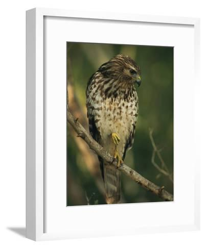 Red-Shouldered Hawk Perches on a Tree Branch-Klaus Nigge-Framed Art Print