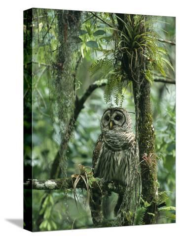 Barred Owl Perches on a Tree Branch Amid Air Plants-Klaus Nigge-Stretched Canvas Print