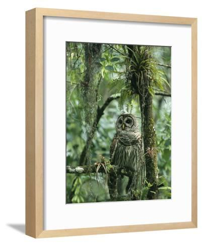 Barred Owl Perches on a Tree Branch Amid Air Plants-Klaus Nigge-Framed Art Print