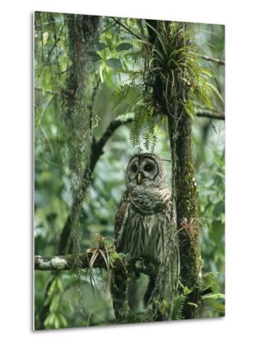 Barred Owl Perches on a Tree Branch Amid Air Plants-Klaus Nigge-Metal Print