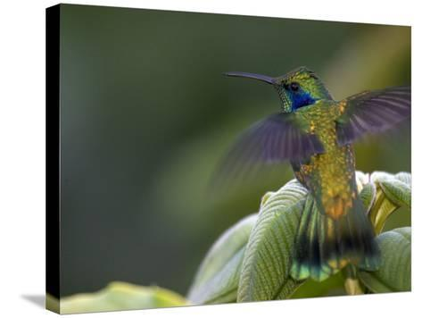 Green Violet-Ear Hummingbird (Colibri Thalassinus), Wings Extended-Roy Toft-Stretched Canvas Print