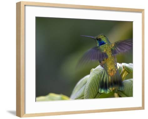 Green Violet-Ear Hummingbird (Colibri Thalassinus), Wings Extended-Roy Toft-Framed Art Print
