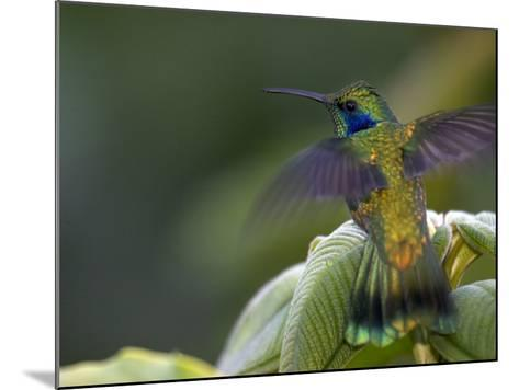 Green Violet-Ear Hummingbird (Colibri Thalassinus), Wings Extended-Roy Toft-Mounted Photographic Print