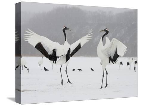 Pair Endangered Red-Crowned Cranes in Mating Dance (Grus Japonensis)-Roy Toft-Stretched Canvas Print