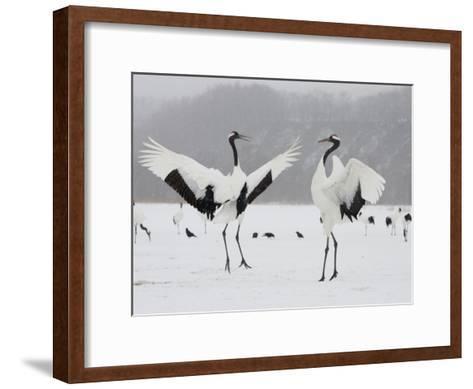 Pair Endangered Red-Crowned Cranes in Mating Dance (Grus Japonensis)-Roy Toft-Framed Art Print