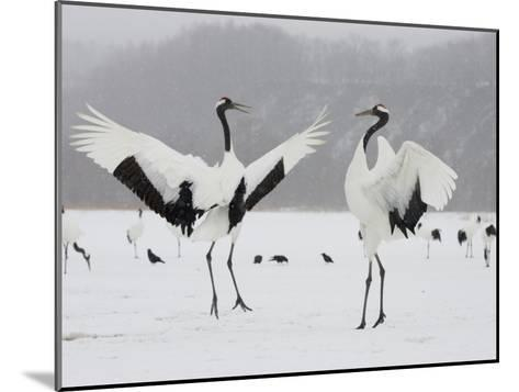 Pair Endangered Red-Crowned Cranes in Mating Dance (Grus Japonensis)-Roy Toft-Mounted Photographic Print