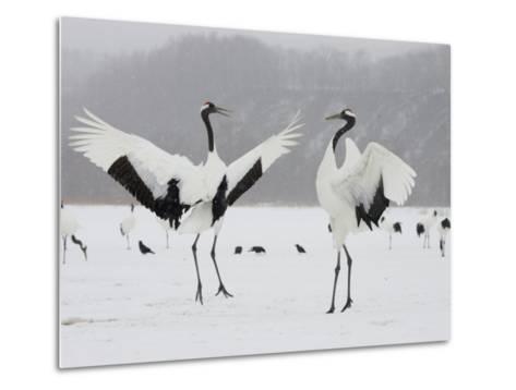 Pair Endangered Red-Crowned Cranes in Mating Dance (Grus Japonensis)-Roy Toft-Metal Print