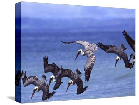 Group of Brown Pelicans (Pelecanus Occidentalis) Diving into Water-Roy Toft-Stretched Canvas Print