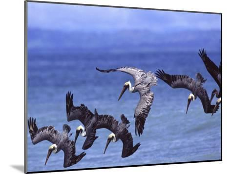 Group of Brown Pelicans (Pelecanus Occidentalis) Diving into Water-Roy Toft-Mounted Photographic Print