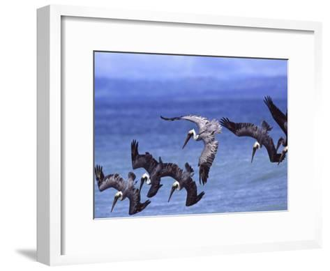 Group of Brown Pelicans (Pelecanus Occidentalis) Diving into Water-Roy Toft-Framed Art Print