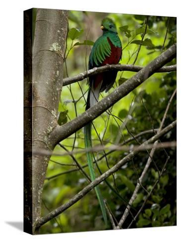 Male Resplendent Quetzal (Pharomachrus Mocinno) on a Tree Branch-Roy Toft-Stretched Canvas Print
