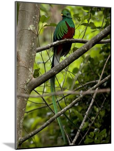 Male Resplendent Quetzal (Pharomachrus Mocinno) on a Tree Branch-Roy Toft-Mounted Photographic Print