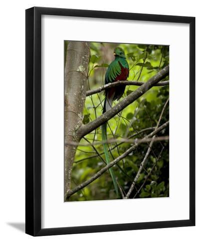 Male Resplendent Quetzal (Pharomachrus Mocinno) on a Tree Branch-Roy Toft-Framed Art Print