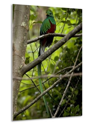 Male Resplendent Quetzal (Pharomachrus Mocinno) on a Tree Branch-Roy Toft-Metal Print