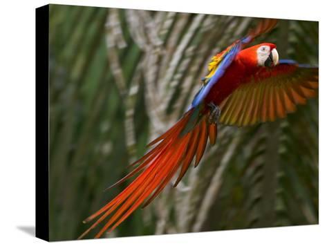 Scarlet Macaw (Ara Macao) in Flight, Preparing to Land in Palms-Roy Toft-Stretched Canvas Print