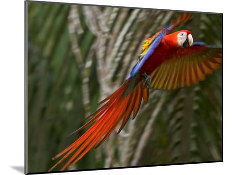 Scarlet Macaw (Ara Macao) in Flight, Preparing to Land in Palms-Roy Toft-Mounted Photographic Print