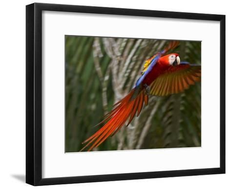 Scarlet Macaw (Ara Macao) in Flight, Preparing to Land in Palms-Roy Toft-Framed Art Print