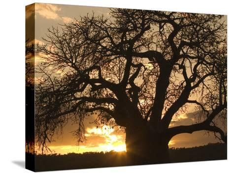 Silhouetted African Baobab Tree at Sunset-Roy Toft-Stretched Canvas Print