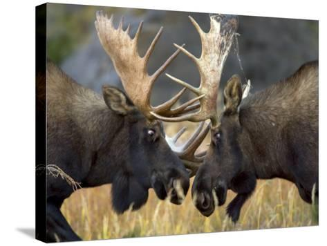 Close-up of Two Moose Locking Horns and Fighting (Alces Alces)-Roy Toft-Stretched Canvas Print