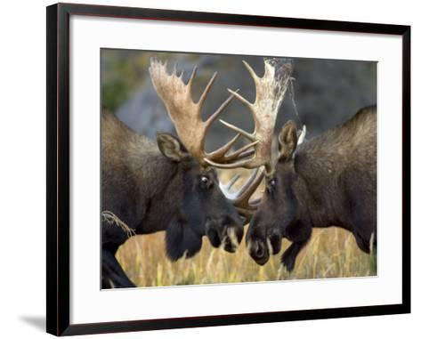 Close-up of Two Moose Locking Horns and Fighting (Alces Alces)-Roy Toft-Framed Art Print
