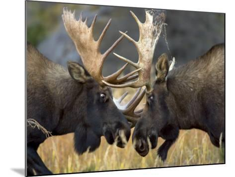 Close-up of Two Moose Locking Horns and Fighting (Alces Alces)-Roy Toft-Mounted Photographic Print