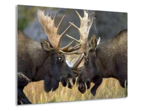 Close-up of Two Moose Locking Horns and Fighting (Alces Alces)-Roy Toft-Metal Print