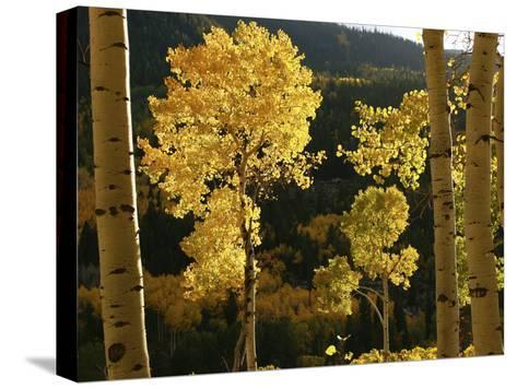Autumn Colored Aspen Trees-Charles Kogod-Stretched Canvas Print