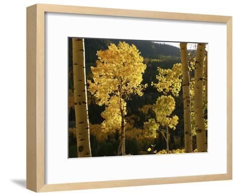 Autumn Colored Aspen Trees-Charles Kogod-Framed Art Print