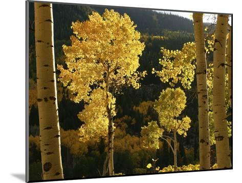 Autumn Colored Aspen Trees-Charles Kogod-Mounted Photographic Print