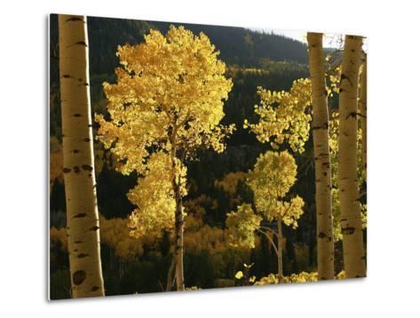 Autumn Colored Aspen Trees-Charles Kogod-Metal Print