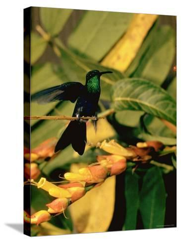 Hummingbird on a Branch in Amazonia-Dmitri Kessel-Stretched Canvas Print