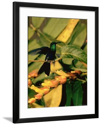 Hummingbird on a Branch in Amazonia-Dmitri Kessel-Framed Art Print