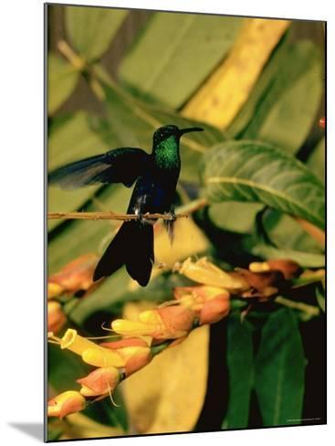 Hummingbird on a Branch in Amazonia-Dmitri Kessel-Mounted Photographic Print