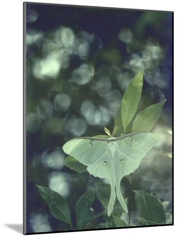 Luna Moth Clings to a Pond Side Chokecherry Tree-Alfred Eisenstaedt-Mounted Photographic Print