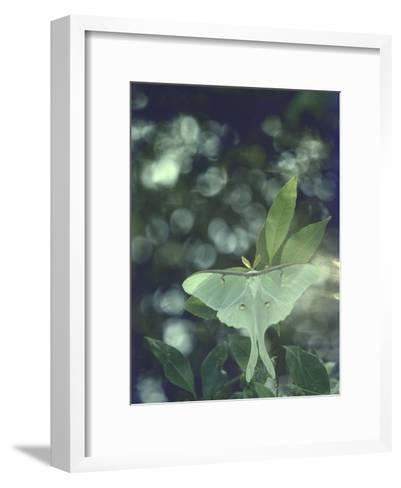 Luna Moth Clings to a Pond Side Chokecherry Tree-Alfred Eisenstaedt-Framed Art Print